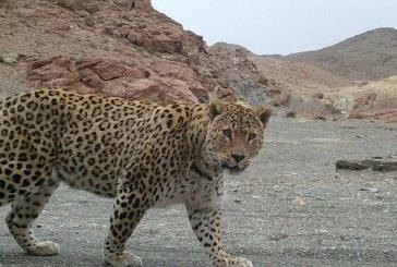 ثبت سومین پلنگ در منطقه شکار ممنوع خنار +تصویر