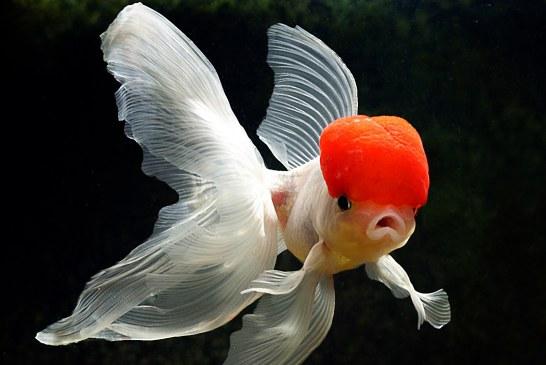 لزوم خودداری از تماس با ماهی قرمز