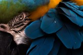 طوطی دم بلند در حیات وحش کالیفرنیا + تصویر