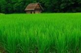 آیا گازهای گلخانه ای مزارع برنج بر گرمایش زمین تاثیر گذارند؟