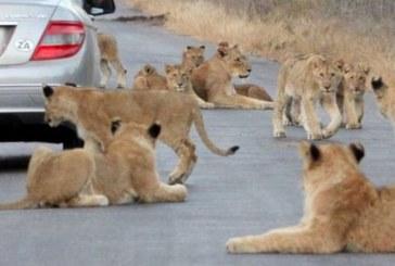 وقتی شیرها به جاده هجوم می آورند + تصویر