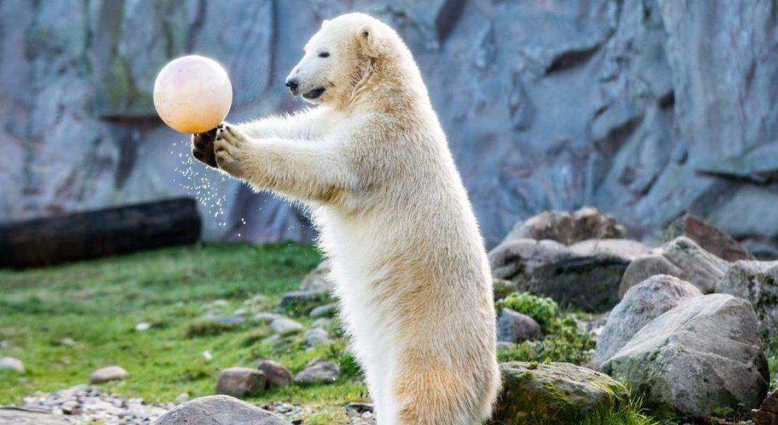 تولد یک سالگی خرس قطبی در آلمان + تصویر