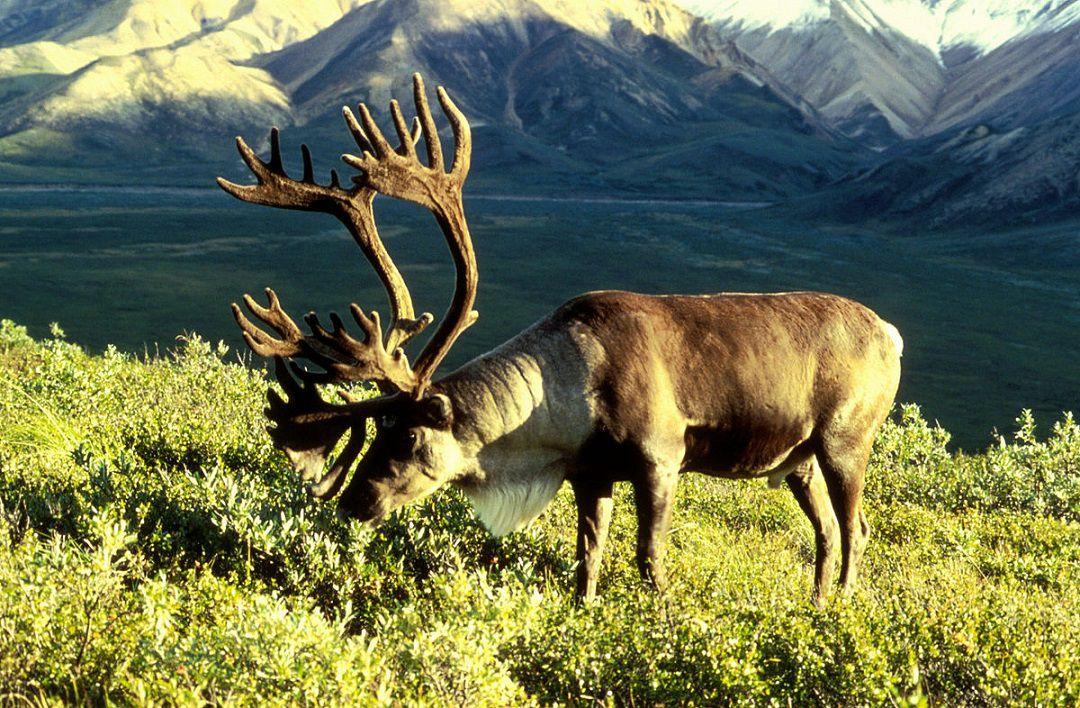 کاهش شدید گونه وحشی گوزنها در قطب شمال + اینفوگرافی