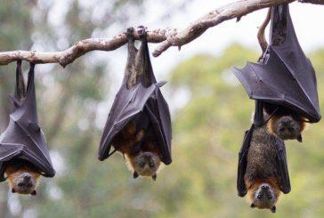 چرا خفاش عامل انتقال بسیاری از بیماریهای مرگبار است؟