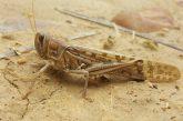 مبارزه با آفت ملخ صحرایی در بیش از ۳۶۸هزار هکتار