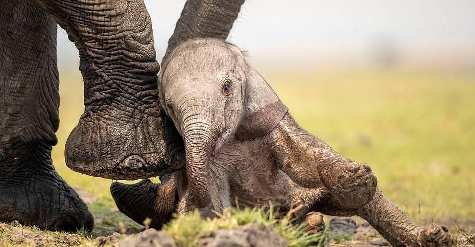 تلاش بچه فیل برای ایستادن روی پاهایش + تصویر