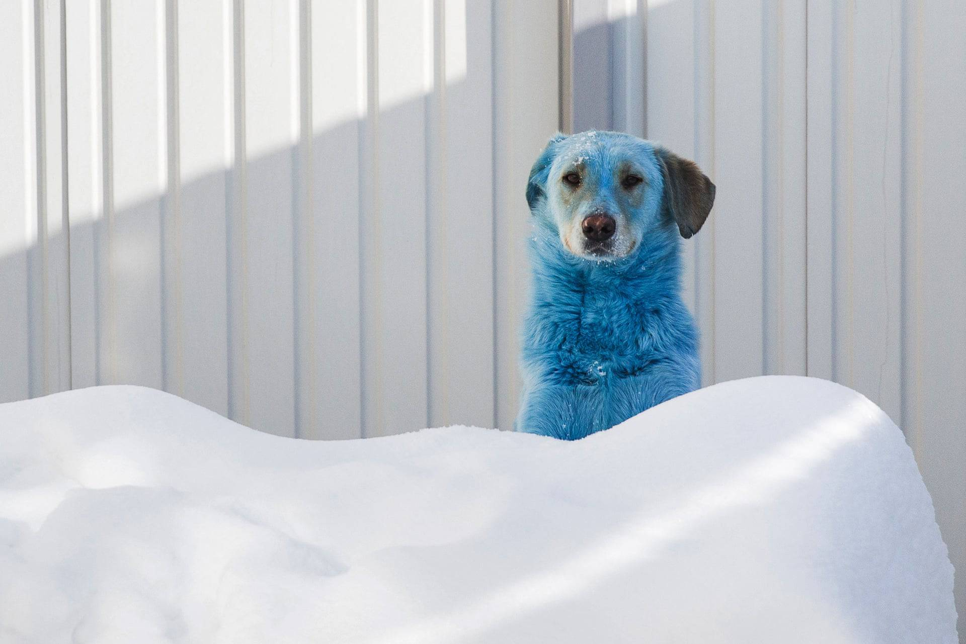 یکی از سگ های آبی رنگ روسی