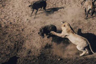 جنگ ۶ ساعته شیر با کفتارها + تصویر